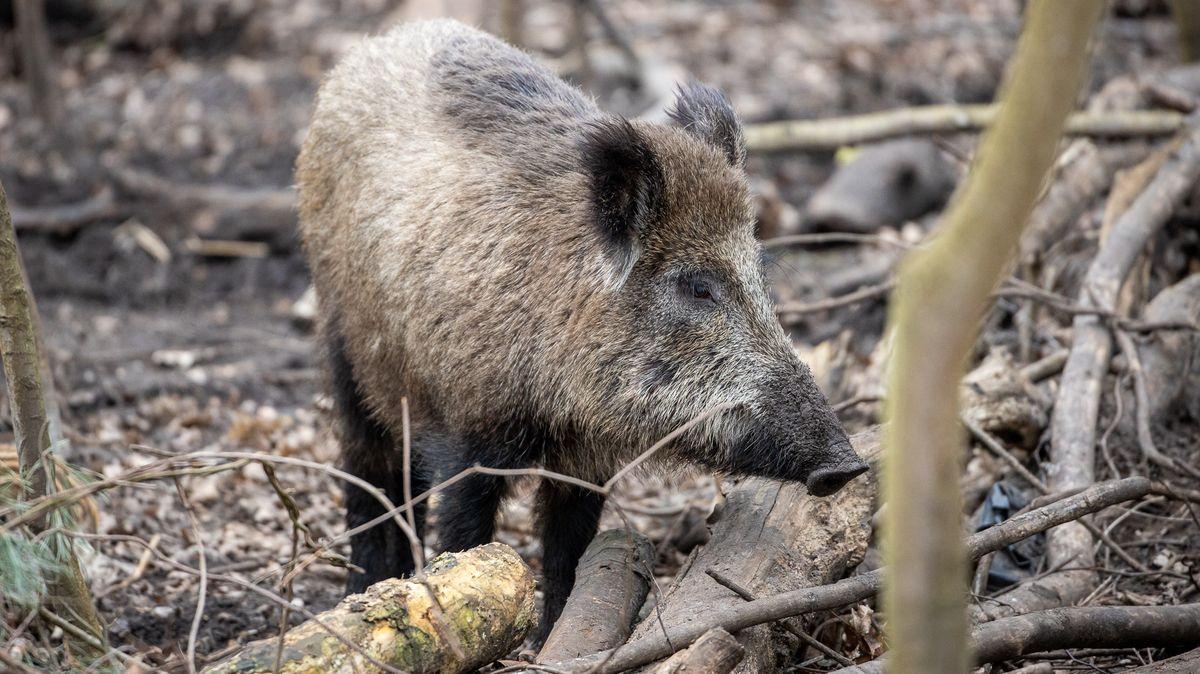 Wildschwein im Wald.