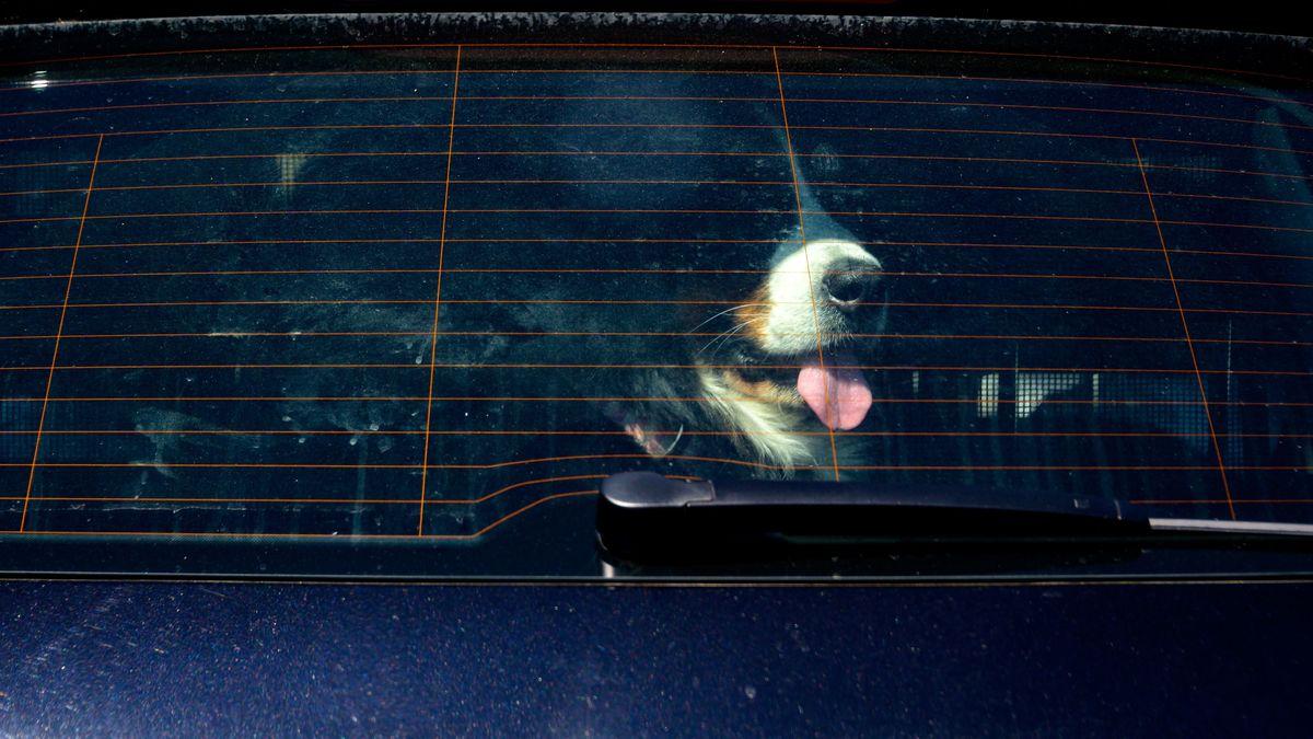 Immer wieder werden Hunde trotz Hitze im Fahrzeug zurückgelassen (Symbolbild)