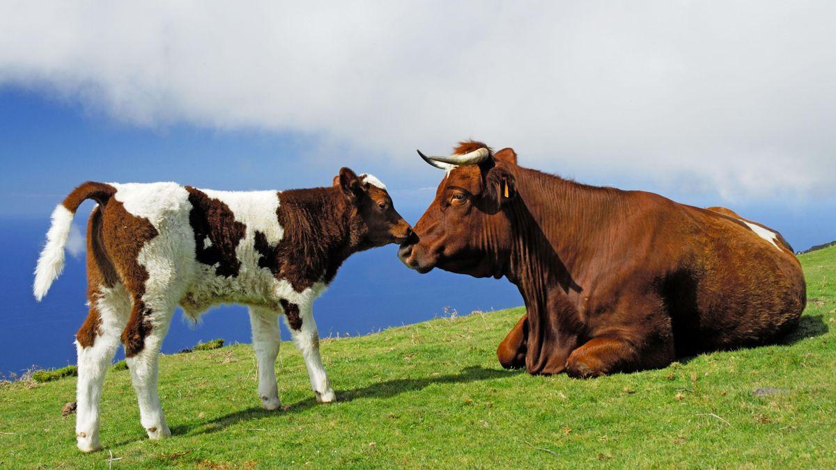 Symbolbild: Kuh und Kalb