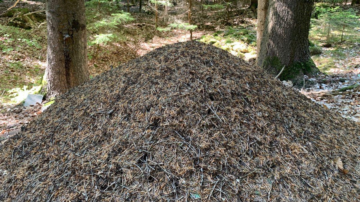 In einem Ameisenhügel dieser Größe leben rund drei Millionen Ameisen.