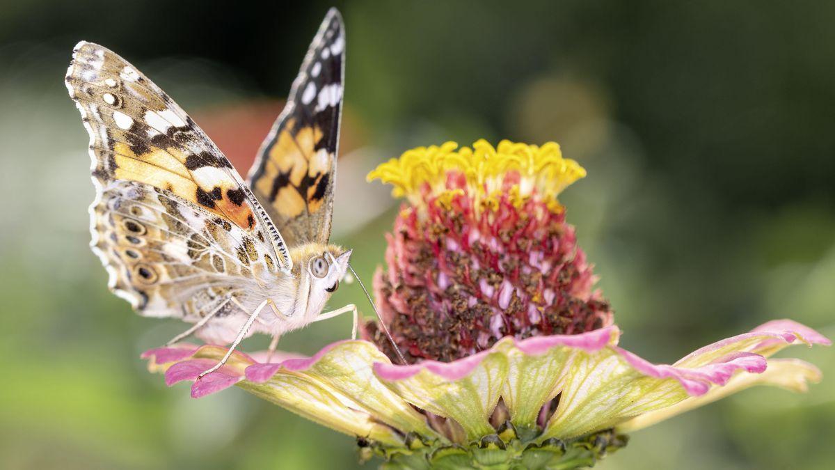 Distelfalter auf einer Blumenwiese