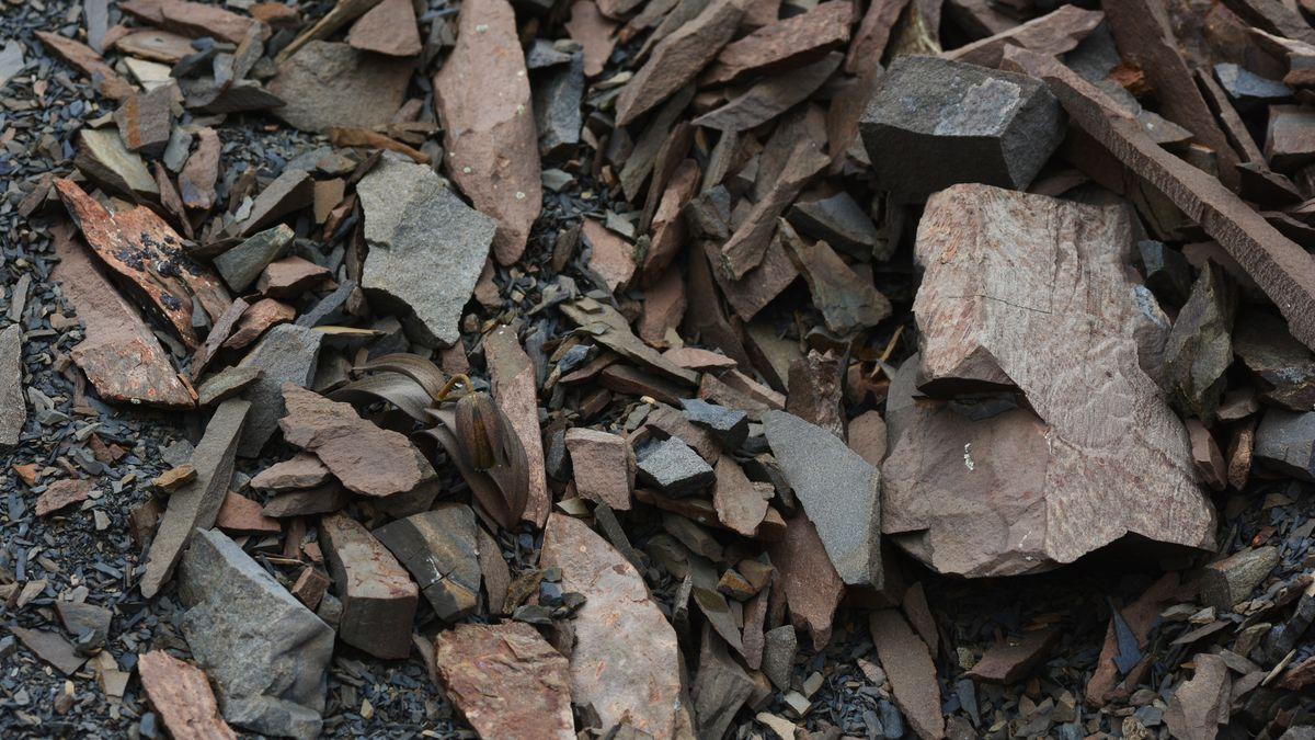 Perfekt angepasst an ihren Hintergrund ist diese Fritillaria delavayi: In grau-brauner Farbe ist sie in der graubraunen Schotterumgebung kaum zu sehen.