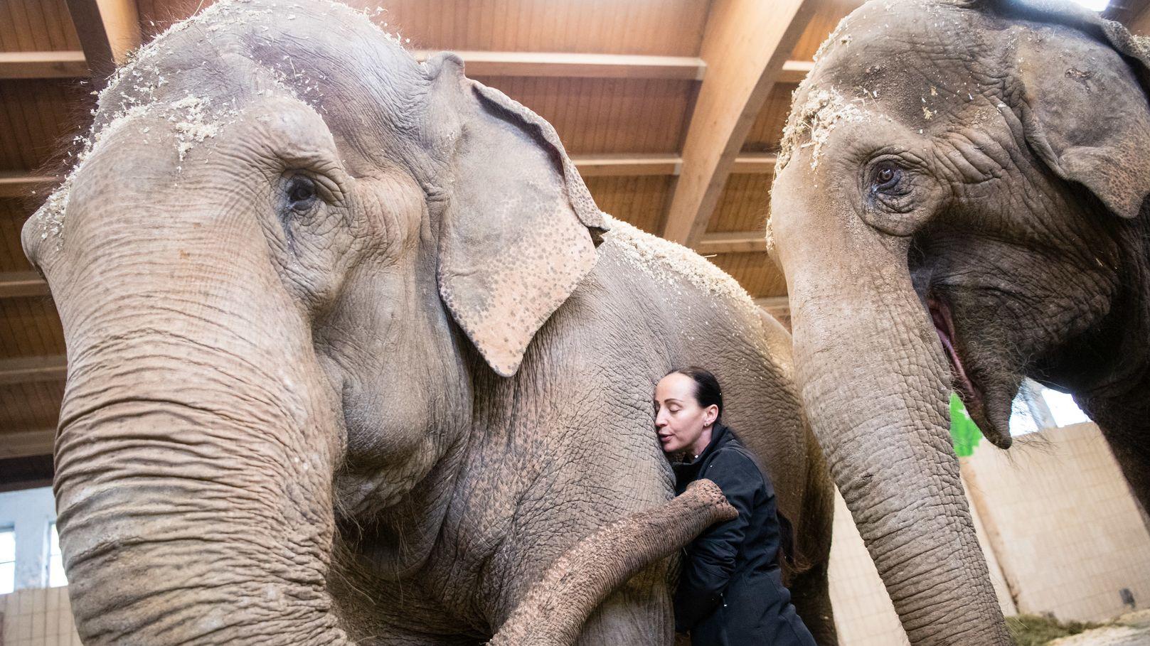 Jana-Mandana Lacey-Krone, Direktorin des Circus Krone, streichelt die indische Elefantenkuh Bara. Rechts läuft Elefantenkuh Burma.