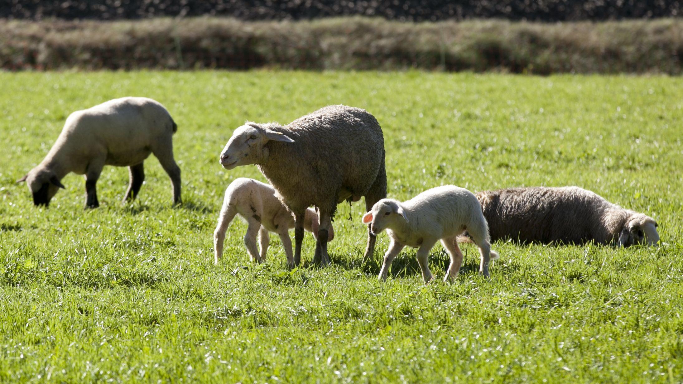 Teil einer Schafherde mit drei ausgewachsenen Tieren und zwei Lämmern auf einer Wiese