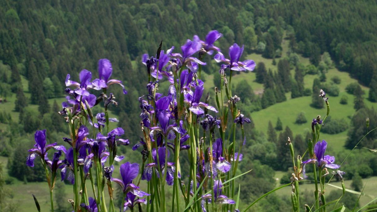 Beliebtes Foto-Motiv: Schwertlilien