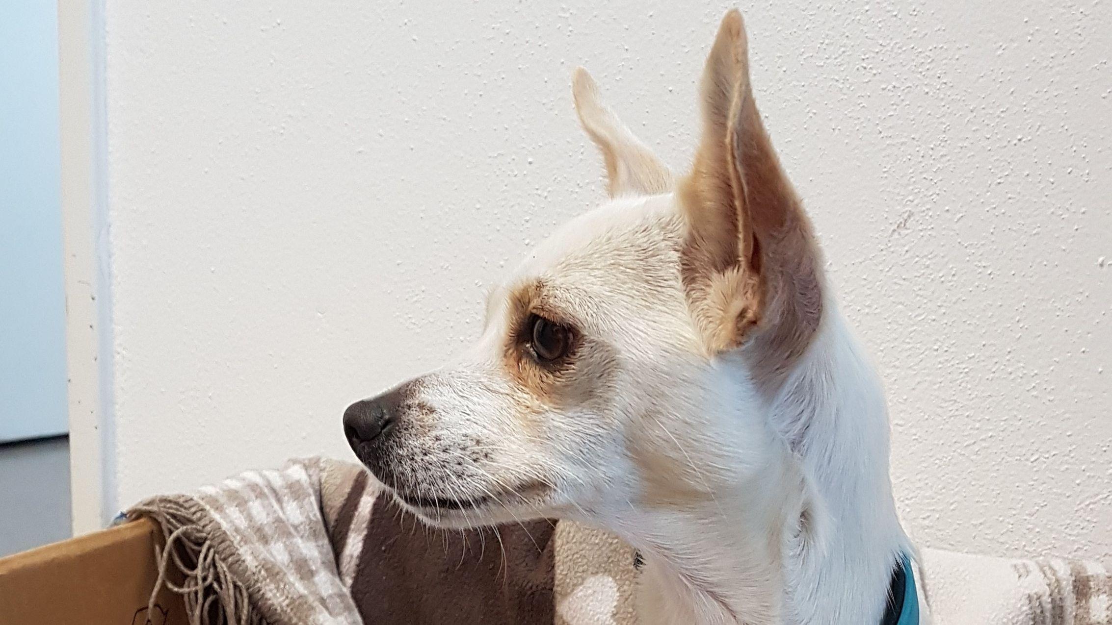 Der ausgesetzte Chihuahua.