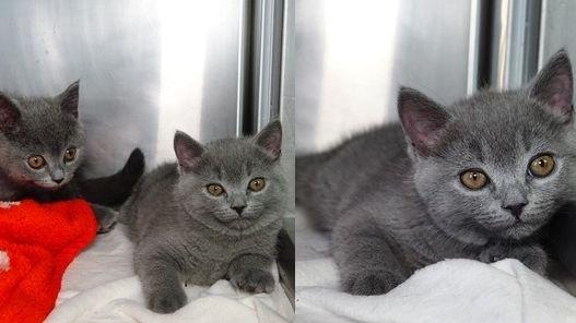 drei graue Katzenbabys