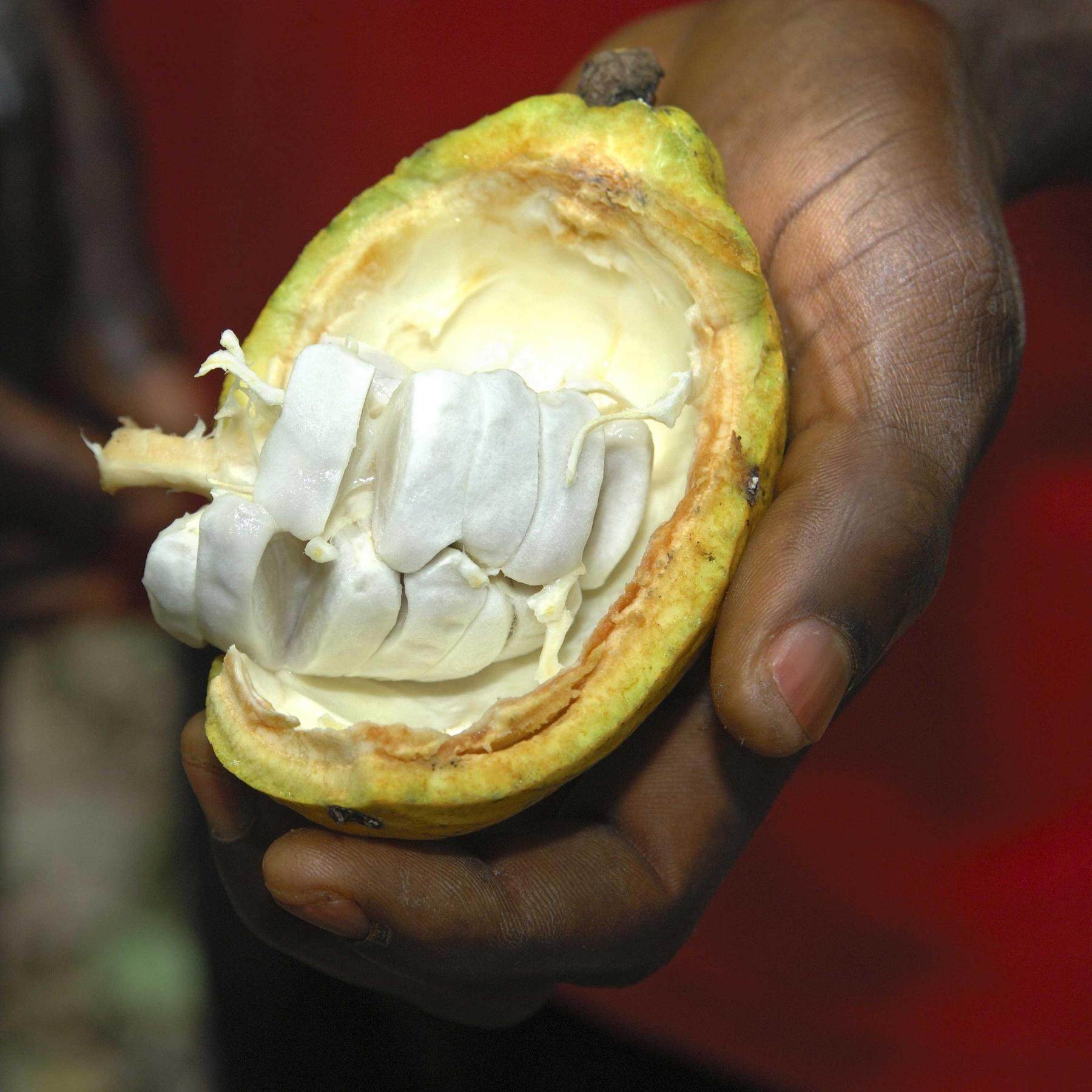 100 Prozent Kakao - Chocolatiers ersetzen Zucker durch Kakaofruchtfleisch