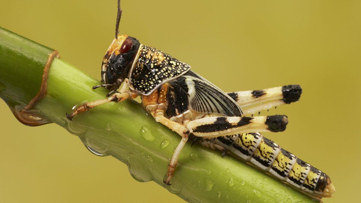 Europäische Wanderheuschrecke (Locusta migratoria) auf einem Bambus.