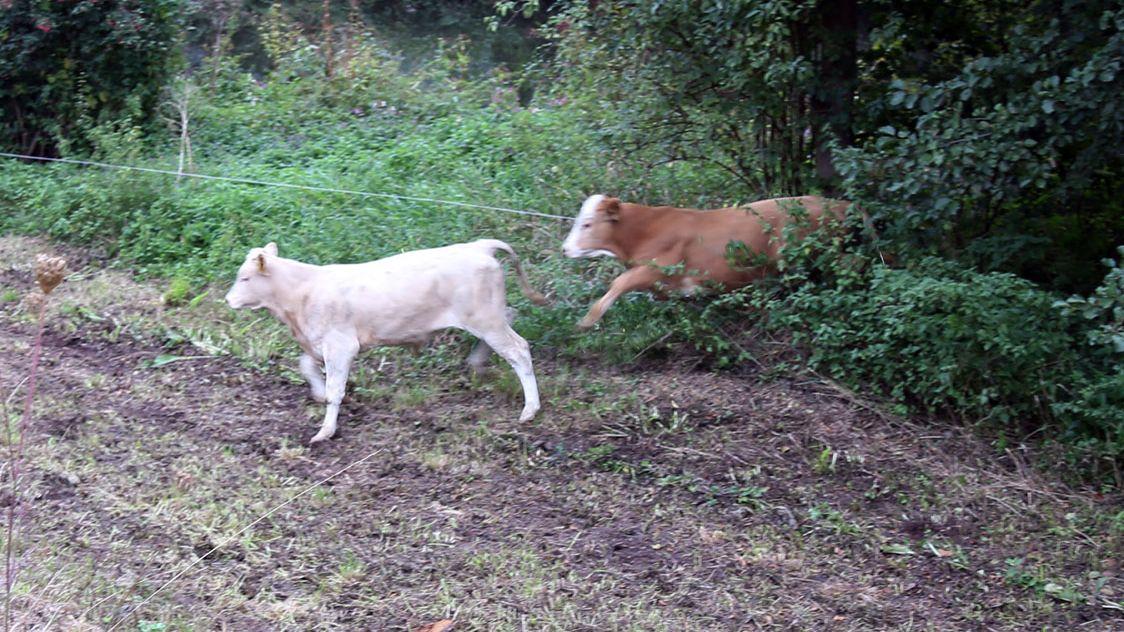 Entlaufene Rinder nach Brand in Miltenberg