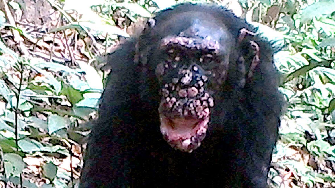 Schimpanse mit Lepraspuren im Gesicht